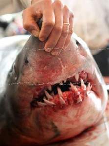 Requin Tunisie Teboulba Crédit Photo Jawhra FM