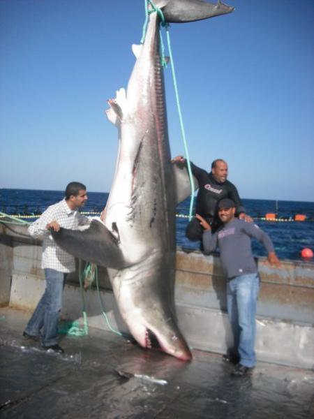 rencontre requin blanc