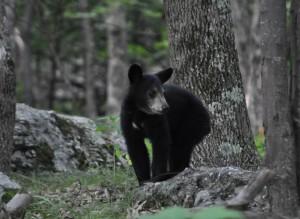 bébé ours noir
