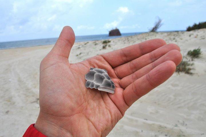 carapace bébé tortue de mer à Rimel