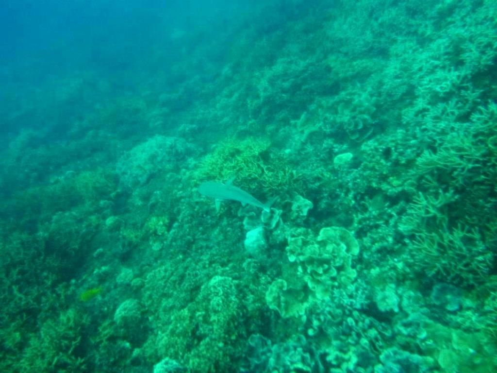 requin pointe noir perhentian