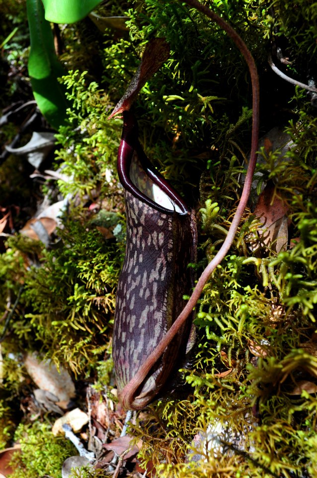 Nepenthes plante carnivore cameron highlands