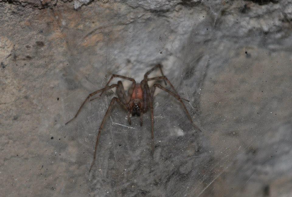 Heteropoda maxima Tunisie