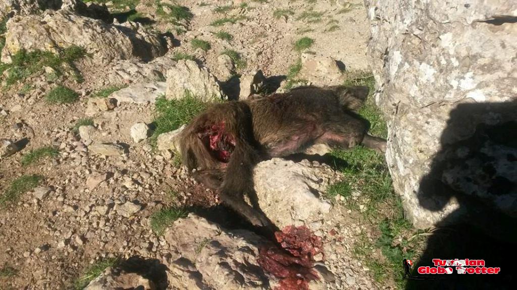 Sanglier mort en montagne