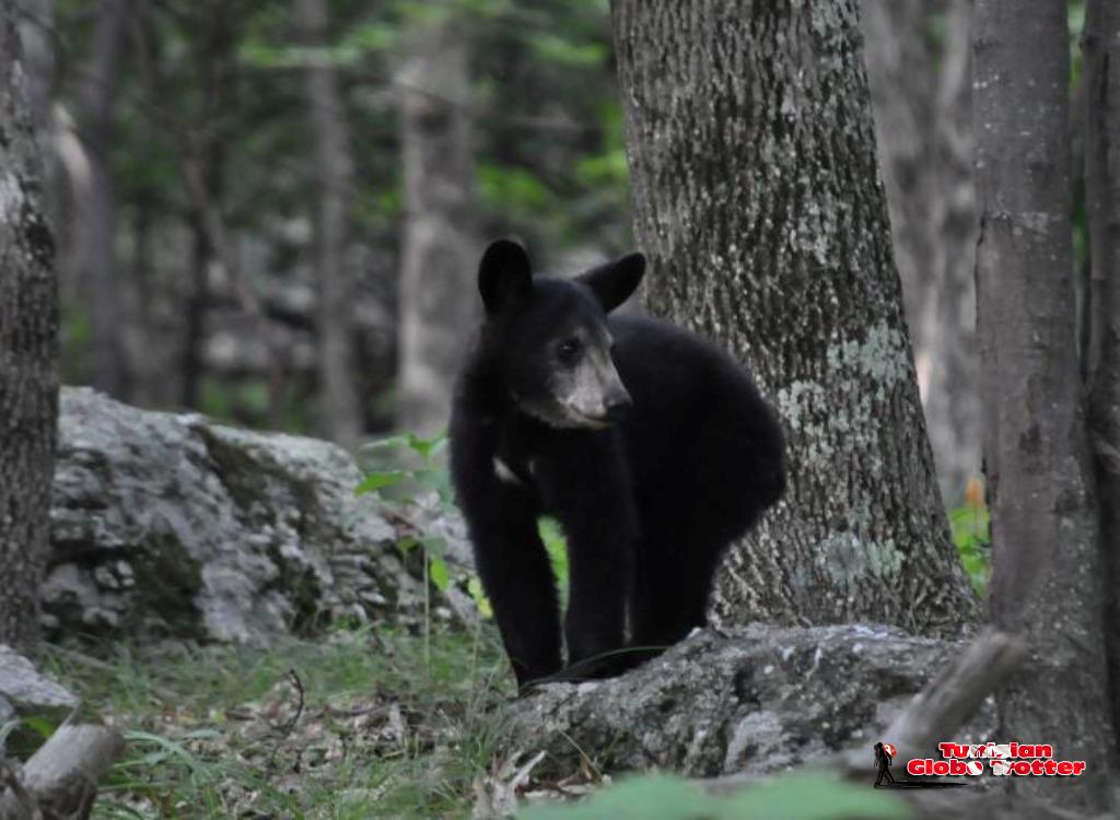 bébé ours noir voyage USA