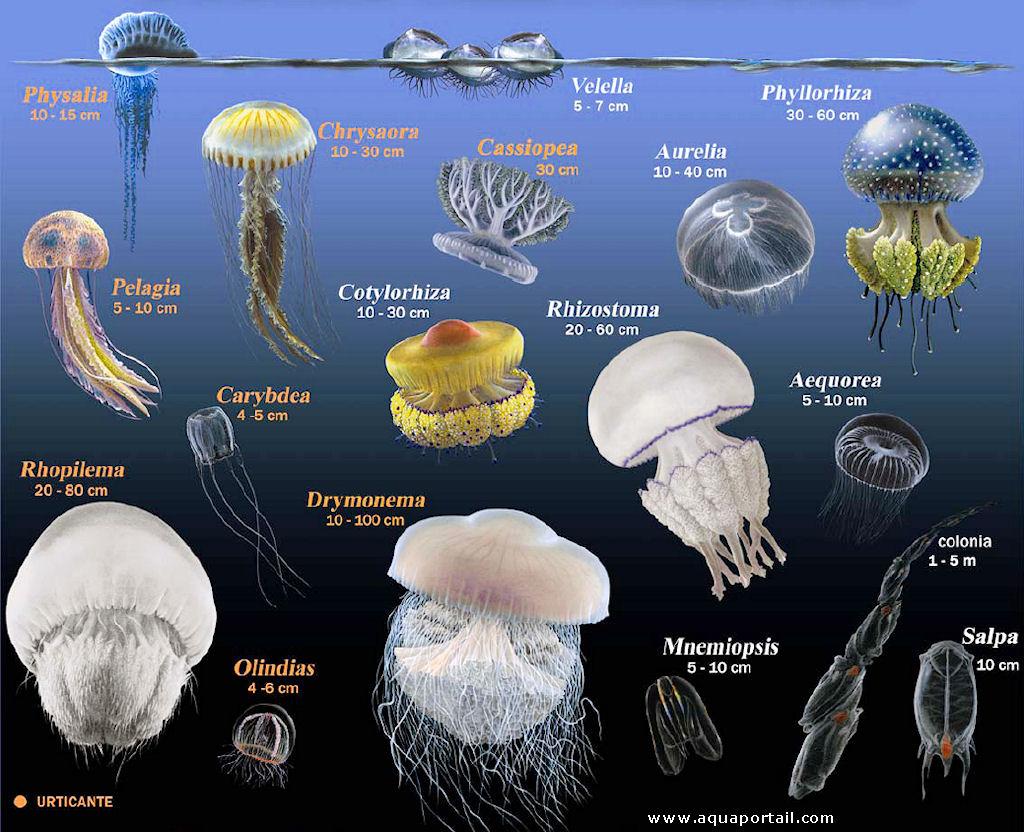 especes-meduses-en-mediterranee